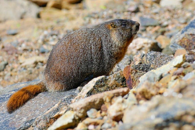 Marmota gorda imagens de stock
