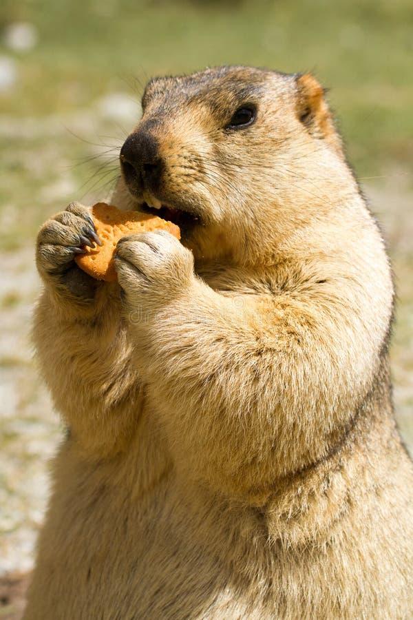 Marmota hambrienta divertida con el bisquit en el prado imagen de archivo libre de regalías