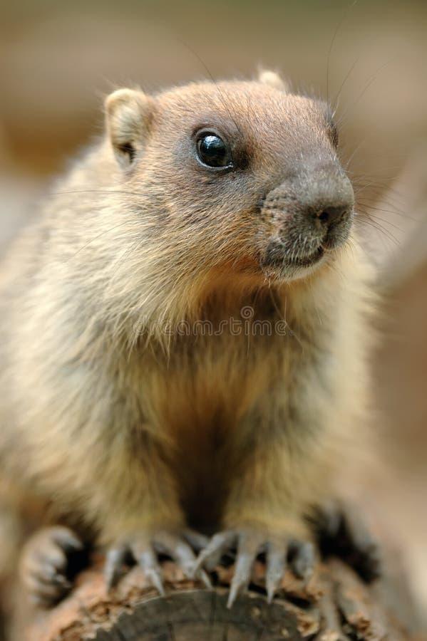 Marmota hermosa imagen de archivo