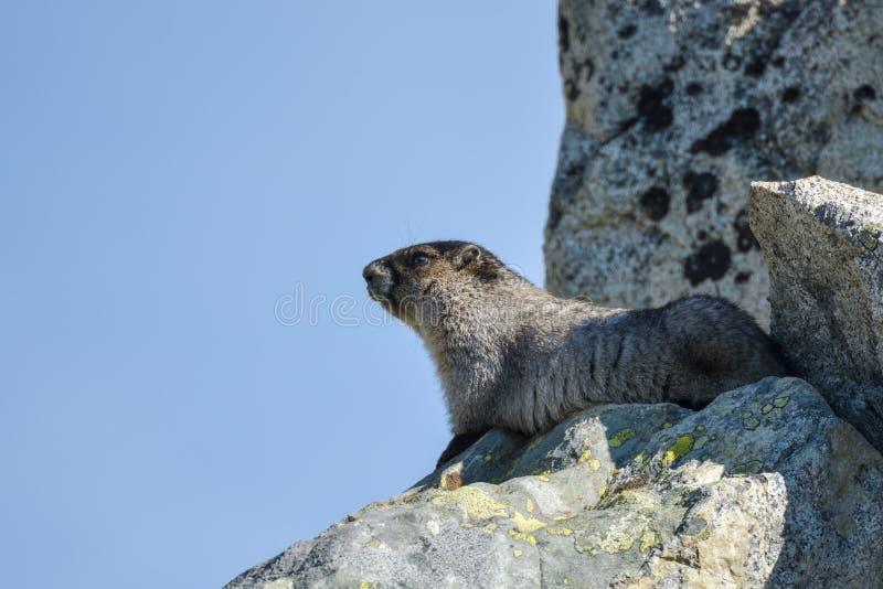 Marmota hermosa que goza del sol fotografía de archivo libre de regalías