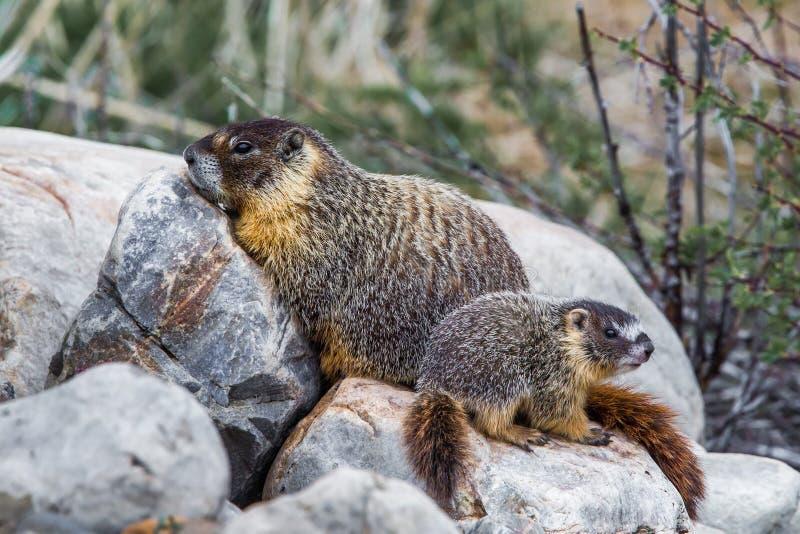 Marmota hinchada amarillo fotos de archivo libres de regalías