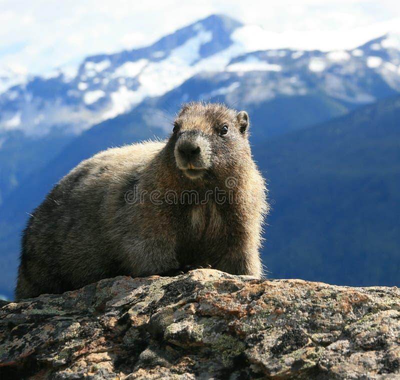 Marmota Hoary no alpino imagens de stock royalty free