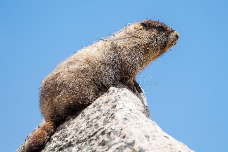 Marmota na parte superior do Mt evans imagens de stock royalty free