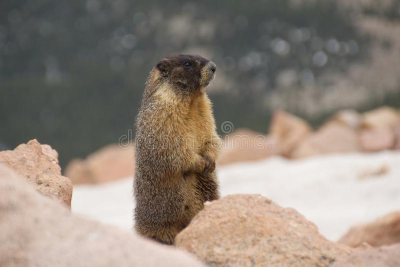 Marmota nas rochas fotografia de stock