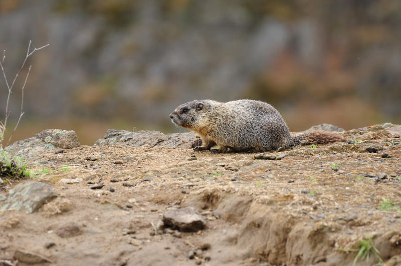 Marmota no penhasco foto de stock royalty free
