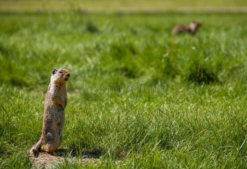 Marmota que dice en voz alta a otros perros de pradera imagen de archivo