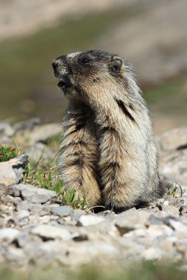 Marmota que está quase imagens de stock royalty free