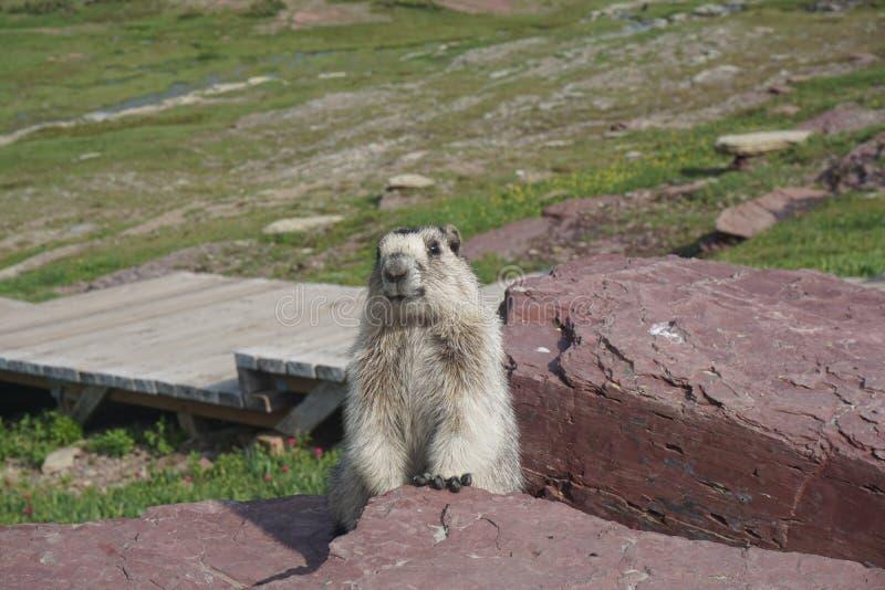 Marmota que presenta para la imagen fotografía de archivo