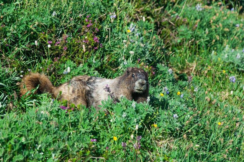 Marmota que se pregunta fotos de archivo