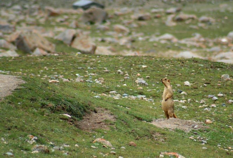 Marmota tibetana imagenes de archivo