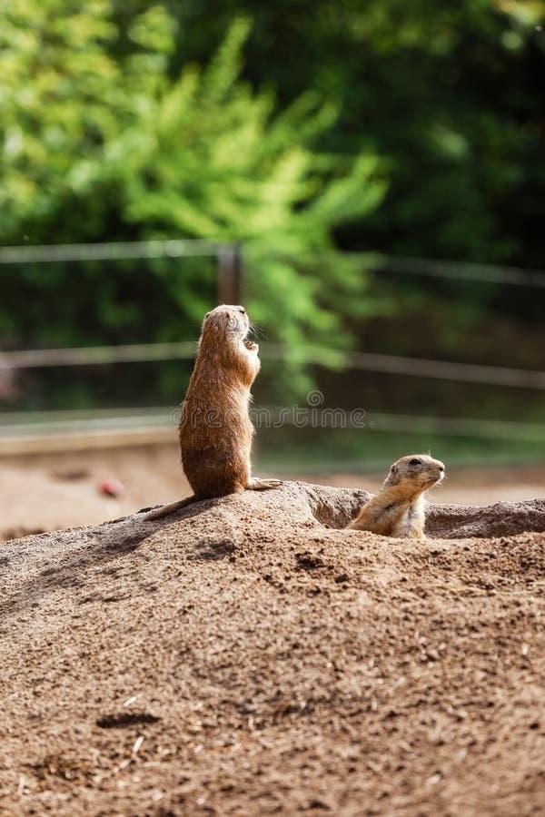 Marmota två Gulligt löst gofferanseende i grönt gräs Observera unga jordekorreställningar bevaka i lös natur arkivfoton