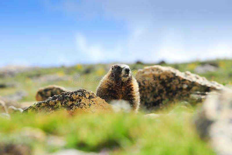 Marmota Yellow-bellied imagenes de archivo