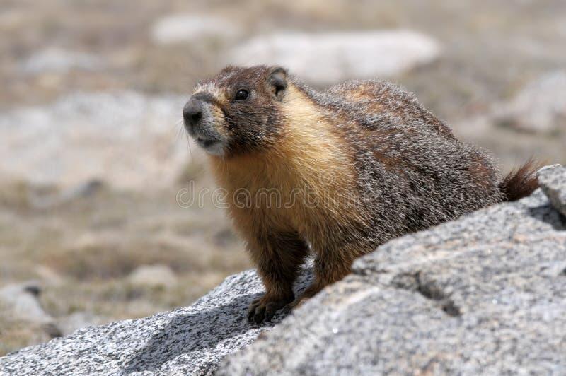 Marmota Yellow-bellied imagen de archivo
