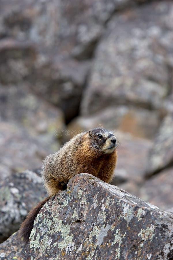 Marmota Yellow-bellied en yellowstone foto de archivo libre de regalías