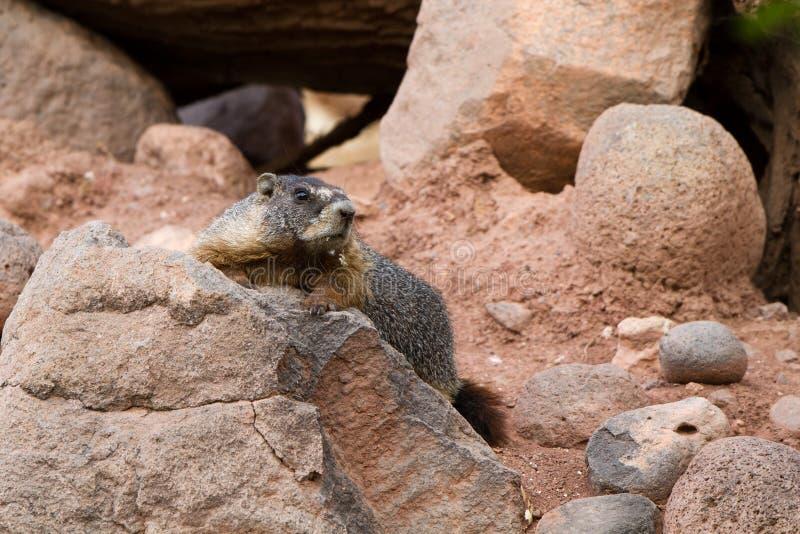 Marmota Yellow-bellied, flaviventris del Marmota fotos de archivo