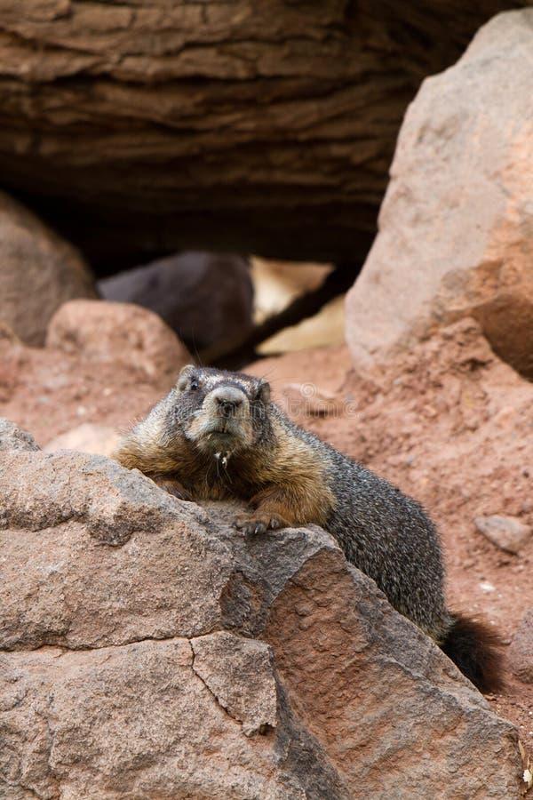 Marmota Yellow-bellied, flaviventris del Marmota imagen de archivo libre de regalías