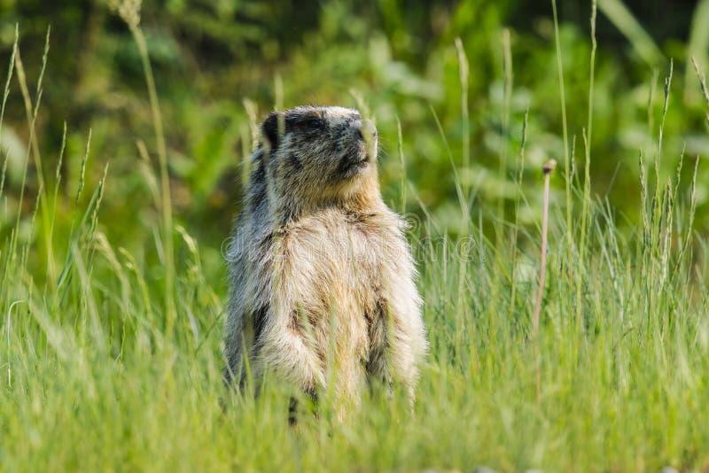 Marmota Yellow-bellied (flaviventris del Marmota) fotos de archivo