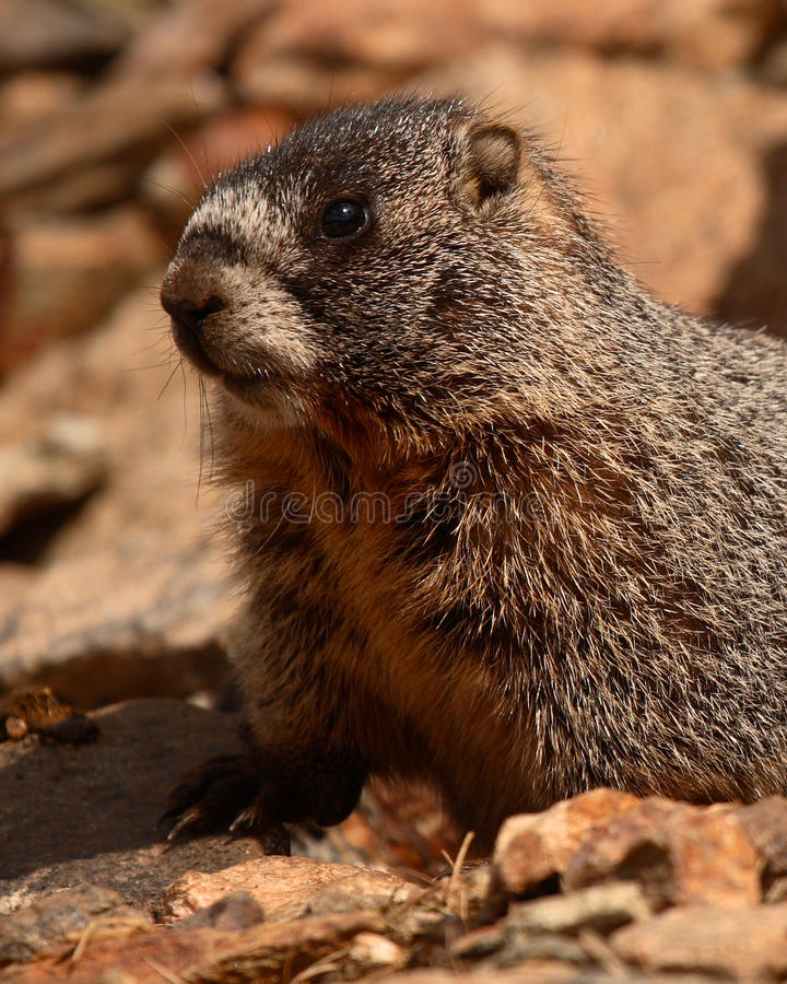 Marmota Yellow-bellied juvenil imagenes de archivo