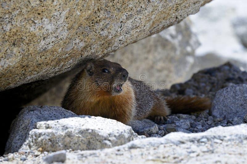 Marmota Yellow-bellied, parque nacional de yosemite imagen de archivo libre de regalías