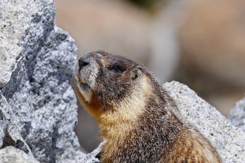Marmota Yellow-bellied, parque nacional de yosemite imagen de archivo