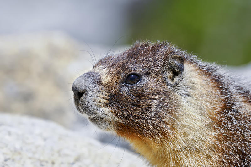 Marmota Yellow-bellied, parque nacional de yosemite fotografía de archivo