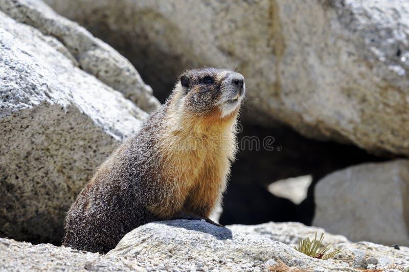 Marmota Yellow-bellied, parque nacional de yosemite imagenes de archivo