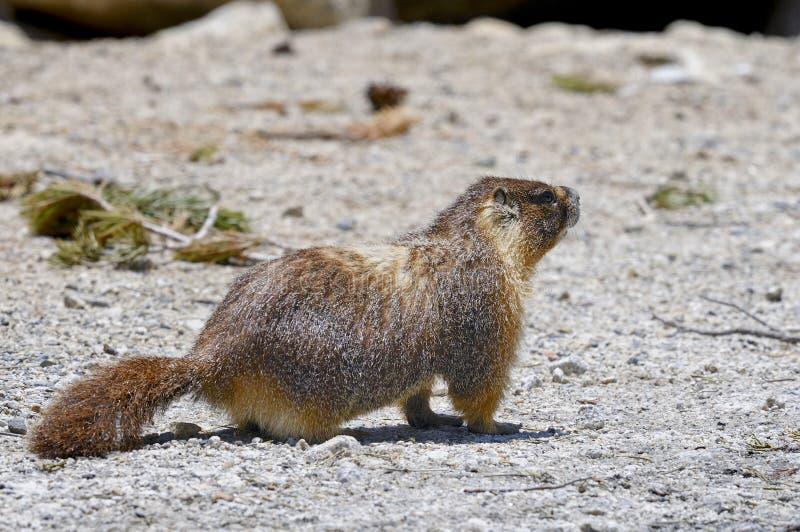 Marmota Yellow-bellied, parque nacional de yosemite fotografía de archivo libre de regalías