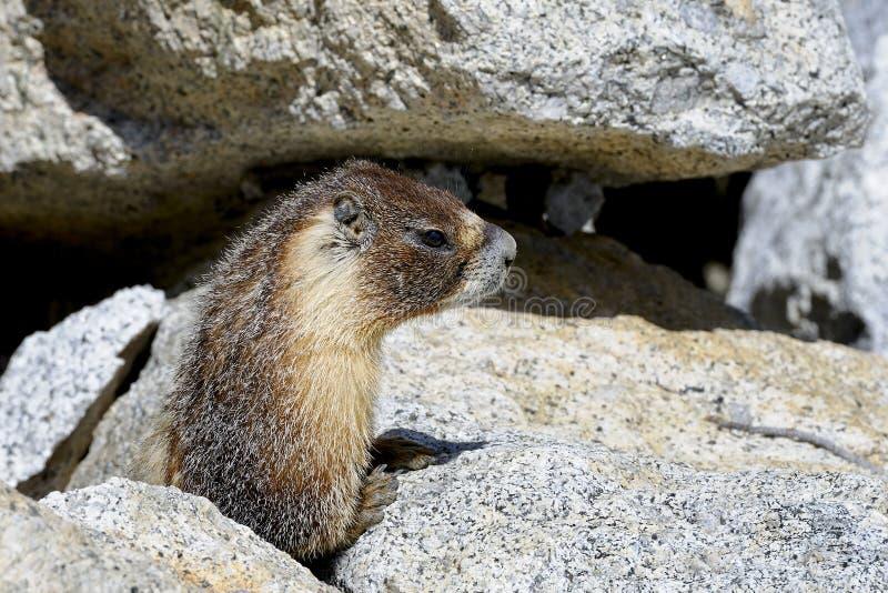 Marmota Yellow-bellied, parque nacional de yosemite fotos de archivo libres de regalías