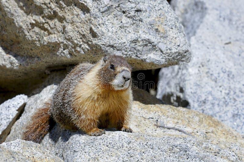 Marmota Yellow-bellied, parque nacional de yosemite imágenes de archivo libres de regalías