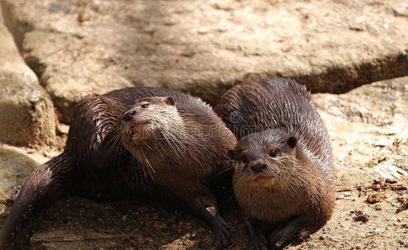 Marmotas Imagen de archivo libre de regalías