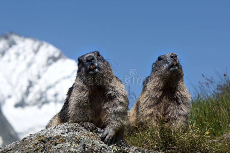 Marmotas Fotos de archivo