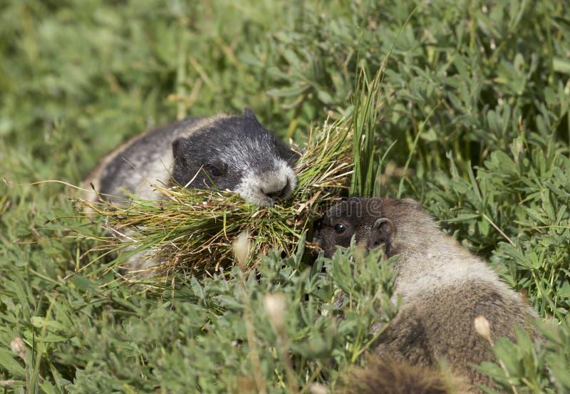 Marmotas canosas en el Mt más lluvioso imagen de archivo