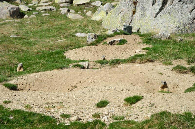 Marmotas salvajes en el prado alpino fotos de archivo