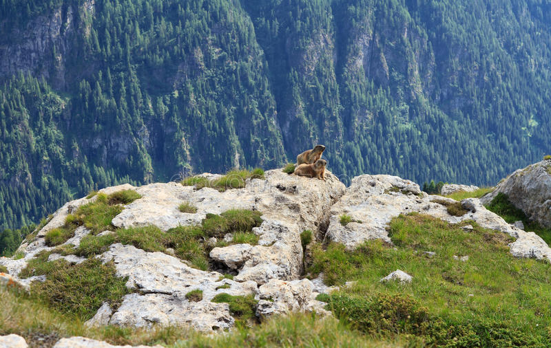 Download Marmots stock photo. Image of stone, park, alpine, green - 29004574