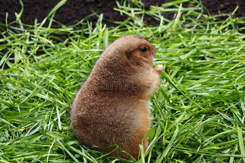 marmots imagens de stock