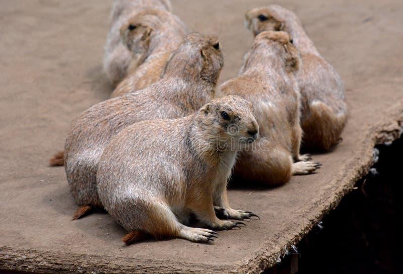 Marmots stock photography