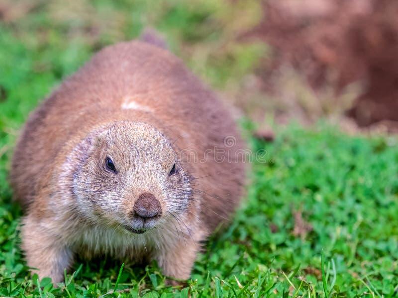 Marmotta adulta fotografie stock