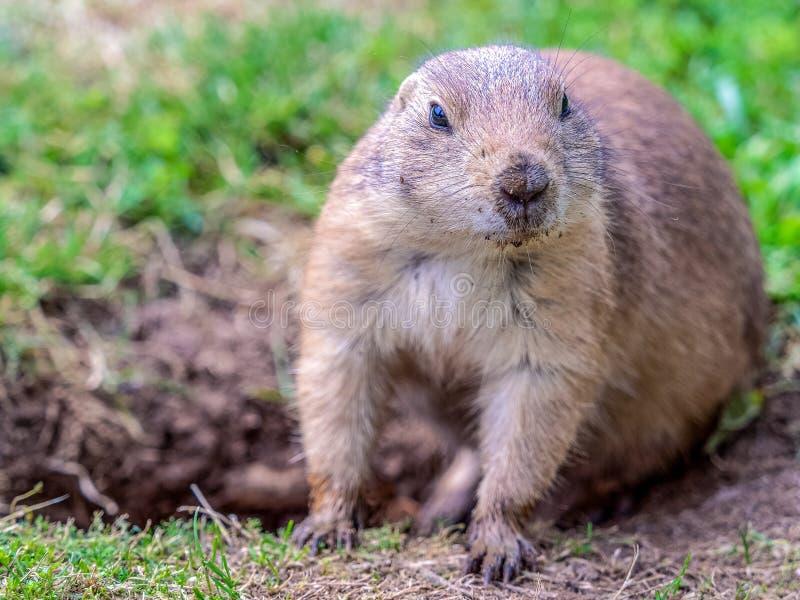 Marmotta adulta fotografia stock libera da diritti