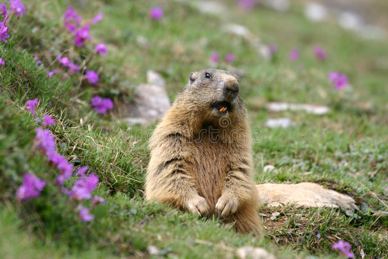 Marmotta alpina (marmota del Marmota) in primavera. immagine stock libera da diritti