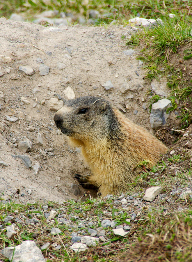 Marmotta in burrow fotografia stock