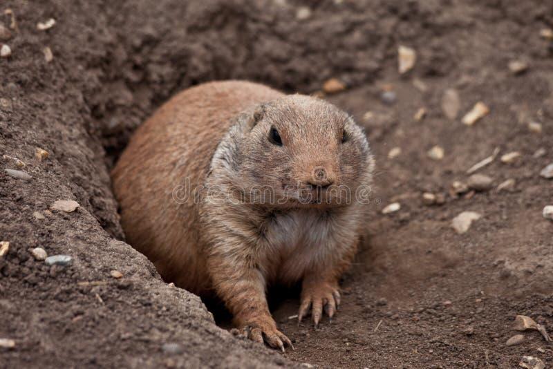 Marmotta (cane, Gopher di prateria) uscente da burrow fotografia stock