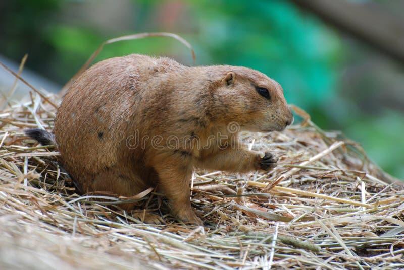 Marmotta che fa un spuntino sulle briciole mentre sedendosi sul fieno immagini stock libere da diritti