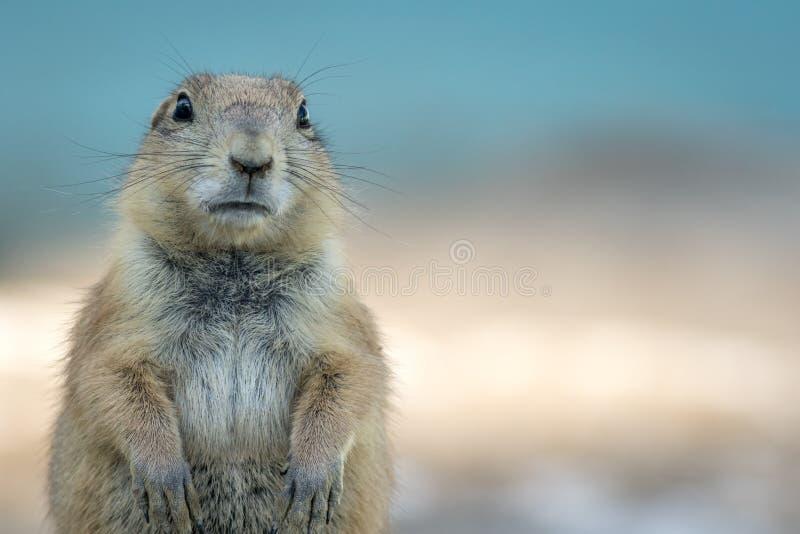 Marmotta che guarda avanti diritto sul fondo blu molle immagine stock