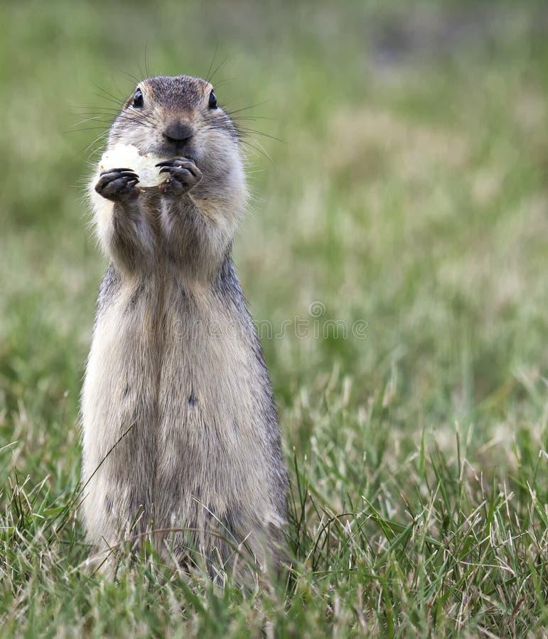 Marmotta che mangia una patatina fritta fotografie stock libere da diritti