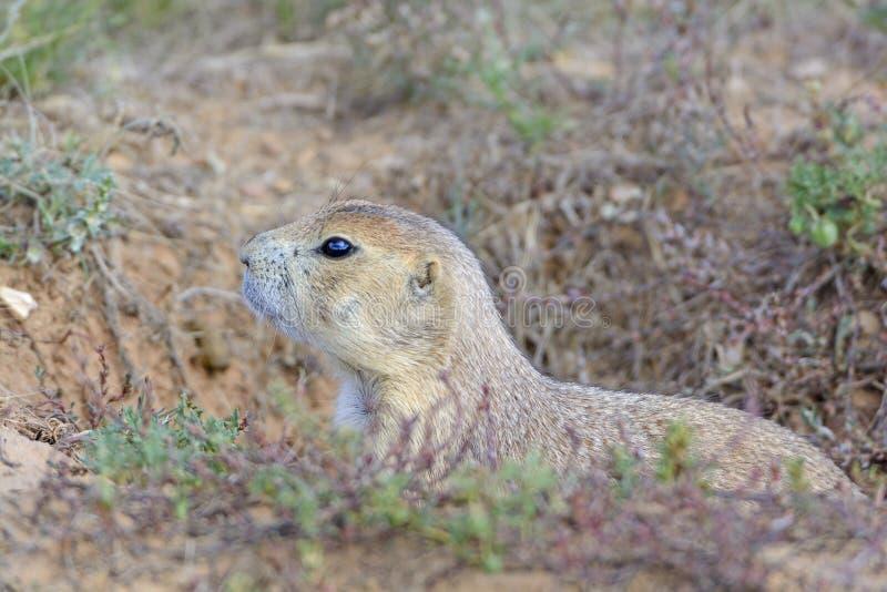 Marmotta con coda nera che dà una occhiata dalla sua tana fotografia stock