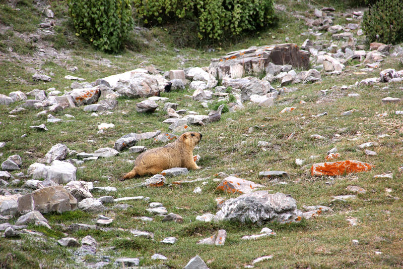 Marmotta himalayana fotografia stock