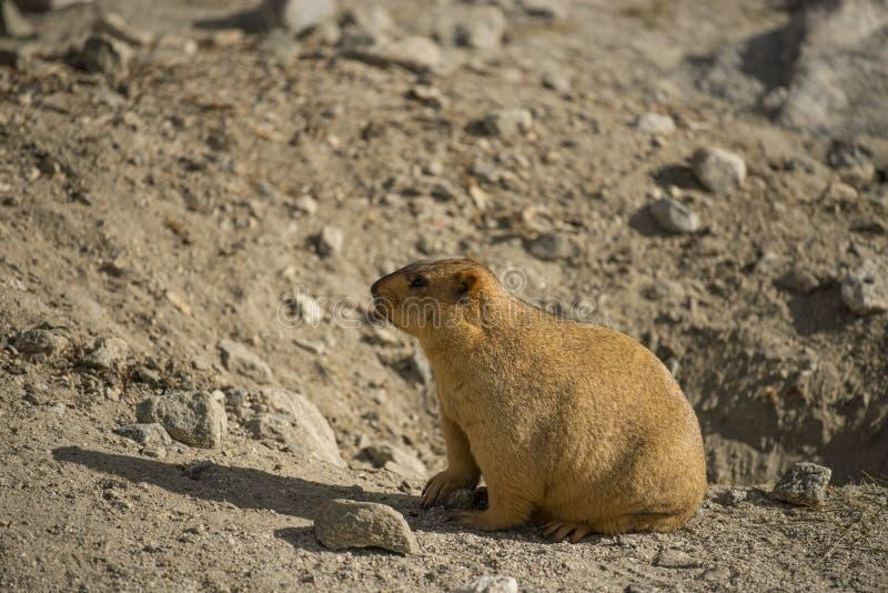 Marmotta himalayana nel lago Ladakh Pangong L'India - settembre 2014 fotografia stock
