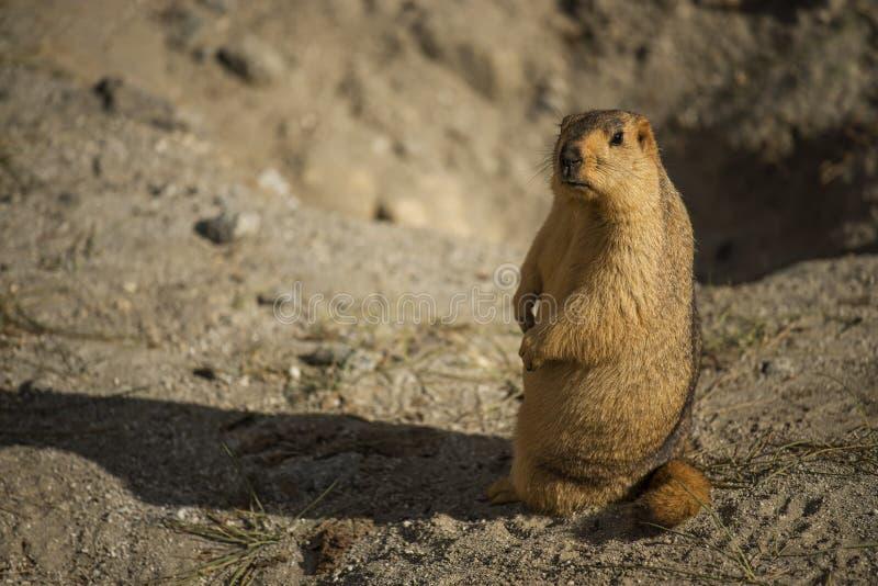 Marmotta himalayana nel lago Ladakh Pangong L'India - settembre 2014 immagine stock