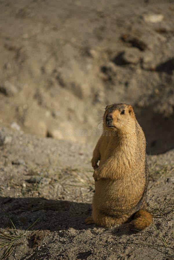 Marmotta himalayana nel lago Ladakh Pangong L'India - settembre 2014 fotografia stock libera da diritti