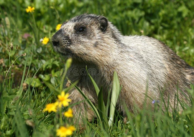 Marmotta Hoary immagini stock